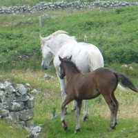 chevaux du connemara 200x200