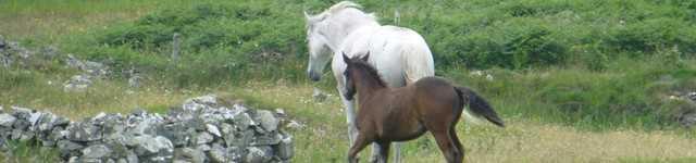 chevaux du connemara-640x150