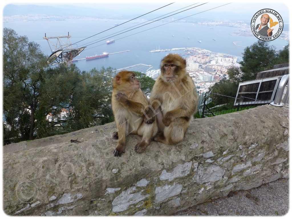 Les fameux Singes de Gibraltar