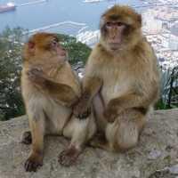 Les fameux Singes de Gibraltar 200x200