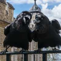Odin et Thor, les deux corbeaux de la Tour de Londres
