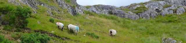 broutage-mouton-connemara-640x150