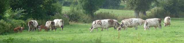 vaches-normandes640x150