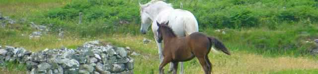 chevaux-du-connemara-640x150